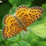 The Silver Bordered Frittilary Butterfly is one of many to occur at Leland Wild in Norfolk