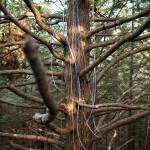 Hemlock Tree with Sampling Hoses - photo by John Hirsch