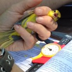 orachard oriole in hand - bird banding - Uxbridge 2018