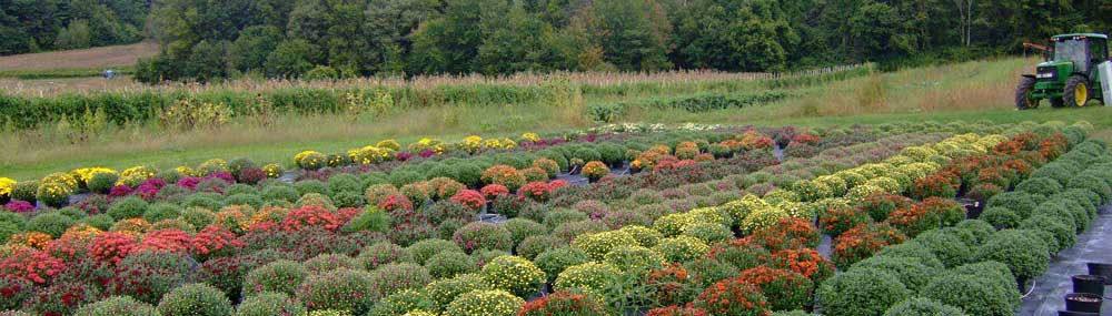Rows of flower bushes on a farm
